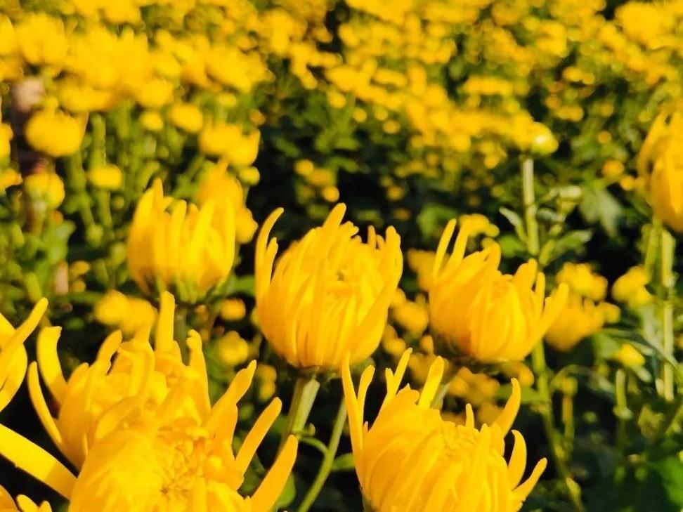 重陽節正值秋天,是菊花盛開的時節,又因為九九與菊酒諧音,所以出現了在重陽節賞菊、喝菊花酒的習俗。